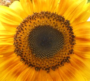 GreatSunflowerHeartCropped25%NG